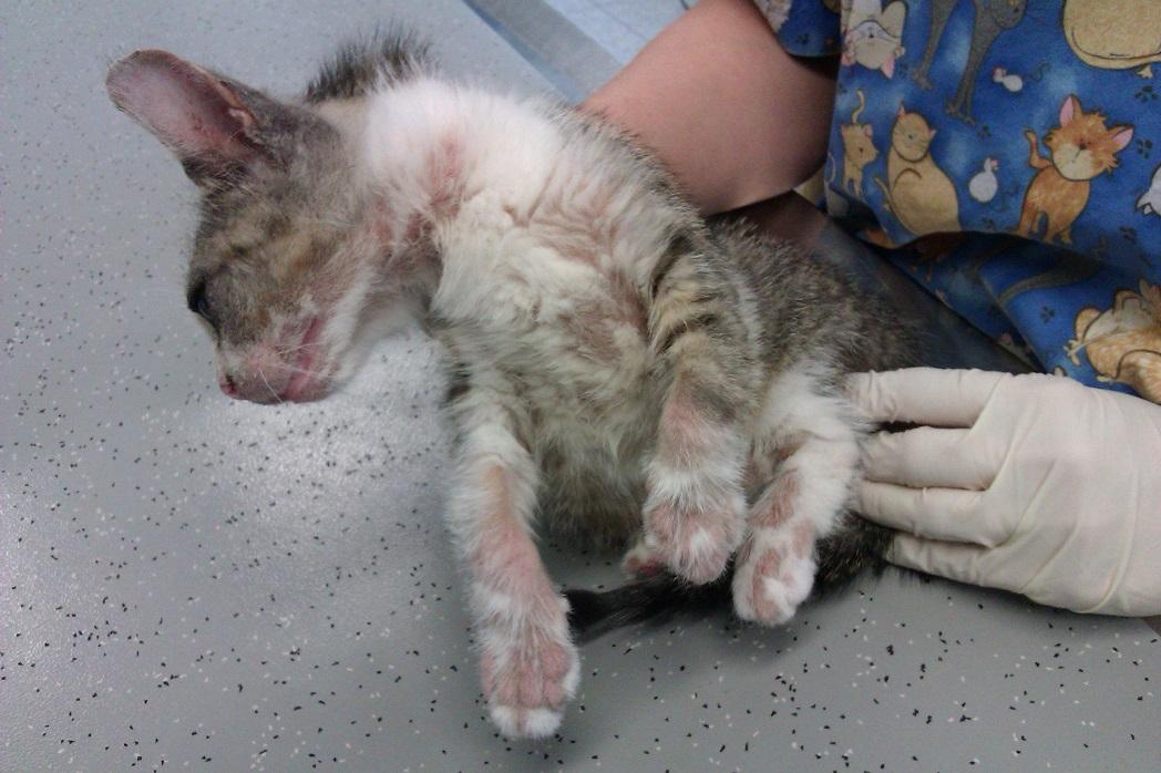Pilzbefall Bei Einer Katze Mit 220 Bergriff Auf Besitzer Dr